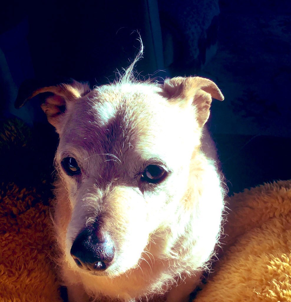 Rupes Mum here. No easy way to say this. But Rupe went downhill this morning & had two seizures. He was struggling. So we helped him on his final journey. We are completely devastated my heart is broken. I don't know what I will do without him. 10.10.2005 - 5.12.2020 OTRB 🌈💔😢