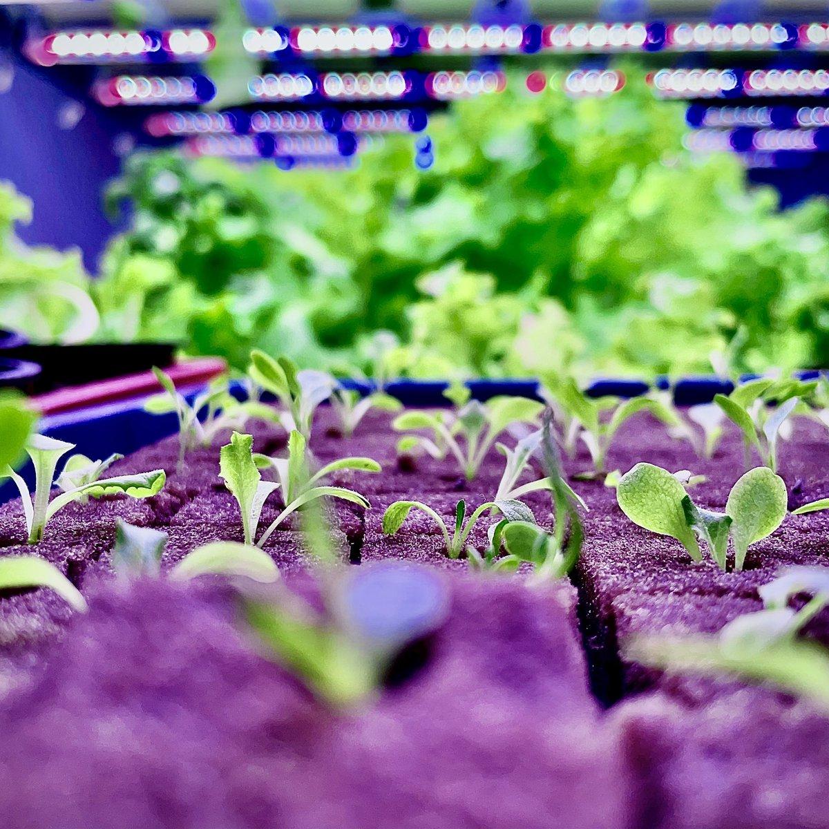 See what Light💡🌱can do! This pictures of Lollorosso taken recently, @amdavadiorganic farm.  #nexselgrown #nexsel #agtech #indoorfarming #hydroponics #verticalfarming #urbanfarming #farming #microgreens #indoorgardens #lollorosso https://t.co/lzwVugBSgU