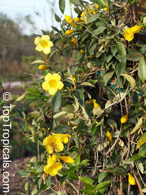 #Gelsemium sempervirens - Carolina Jasmine is a nice fast growing evergreen woody vine (twining to 20' or more) with fragrant yellow flowers that appear in late winter or early spring. Great for fences, pagodas.     #floweringvines #MondayMotivation