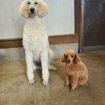 Image for the Tweet beginning: 同じ髪型。 でも何かが違う。  #那須どうぶつ王国 #犬 #スタンダードプードル  #デッド #トイプードル #メロン