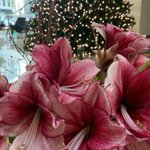 Image for the Tweet beginning: A beautiful bunch of amaryllis