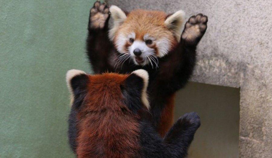 え…?威嚇なの??レッサーパンダの威嚇が可愛すぎる!