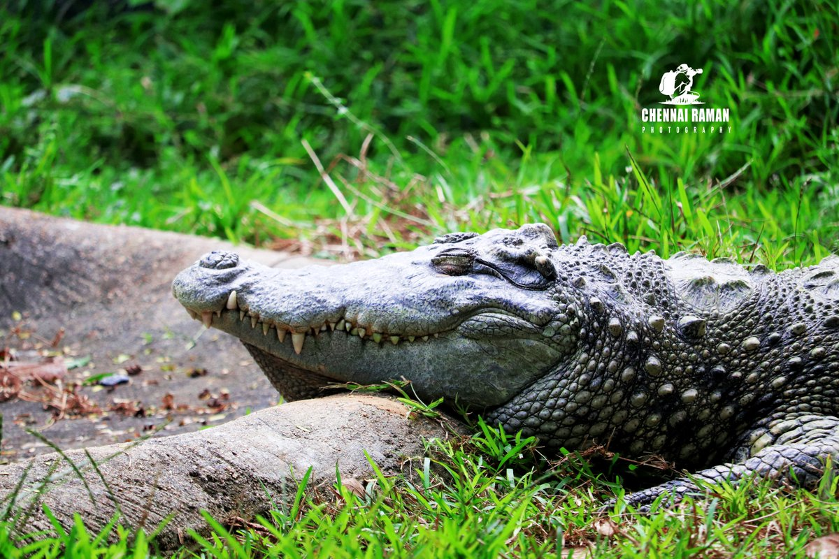 ஆசியா முதலை - Alligator  #Alligator #crocodilemask #animal #crocodile #chennai #vandaloor #ecr #tamilnadu