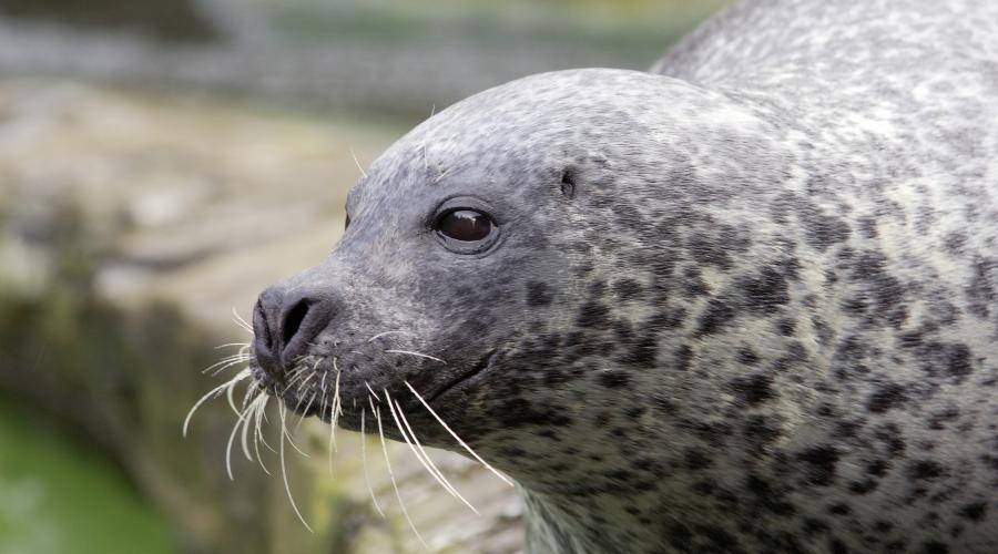 Find out more about Scotland's seals and how to identify them here: ow.ly/kq3M50CS7UU #YCW2020
