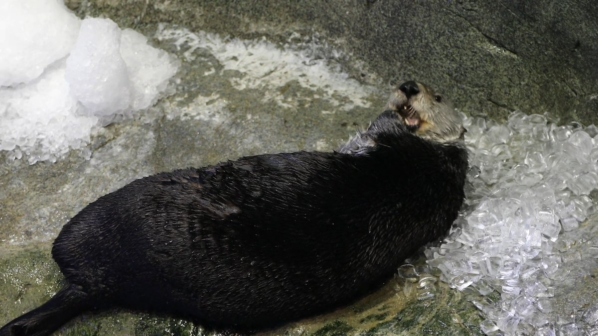 One square inch of a sea otter's fur has roughly the same number of hairs as a whole German shepherd! 🦦❄️ Yaku and Luna recently played with snow and ice enrichment, taking breaks to groom that dense fur.