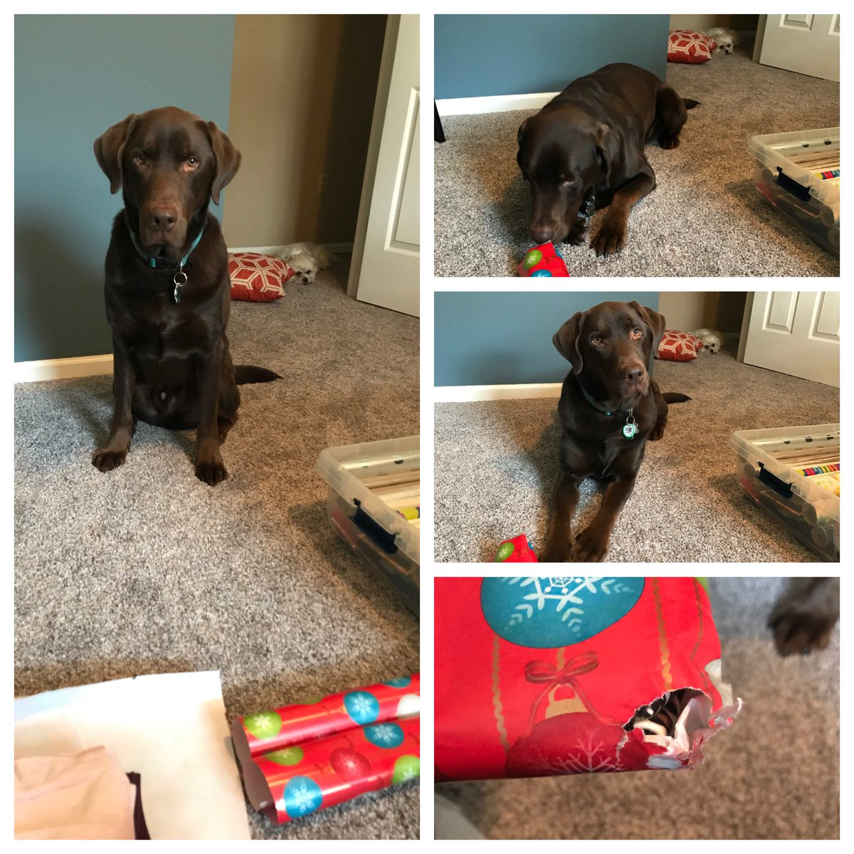 My elves 'helping' to wrap gifts. One elf is opening my niece's presents as I wrap and the other elf (in the background) is napping on the job. 🥰💙🐶🎁