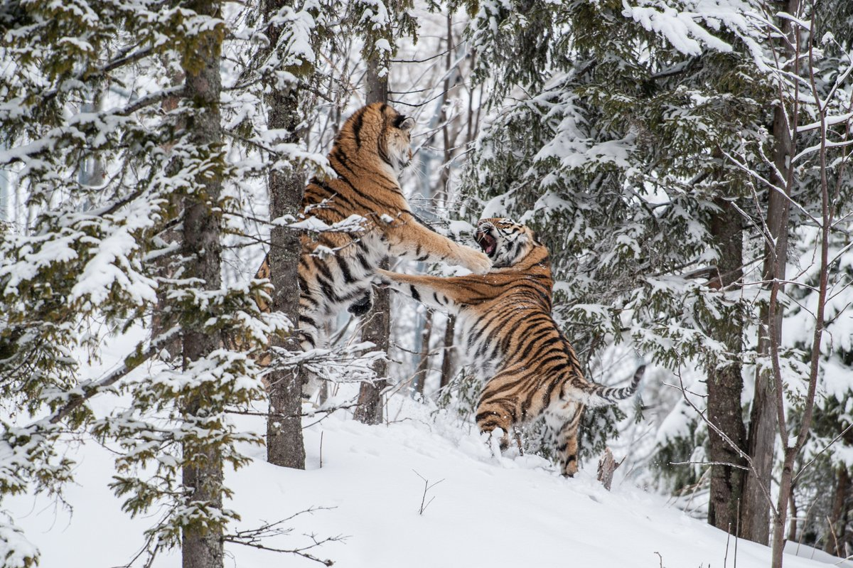 RT @Discovery: Two endangered Siberian tigers fight for the affection of a female tiger. #TigerTuesday https://t.co/znV9hMwxQE
