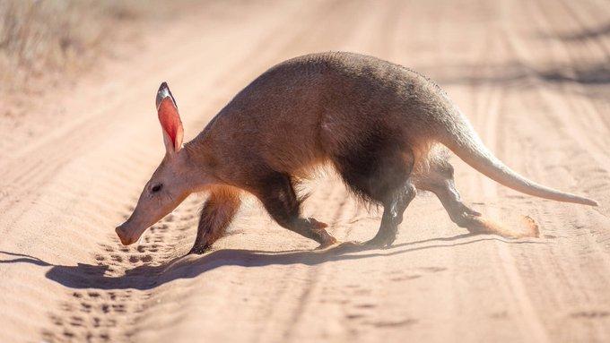 kangaroosのTwitterイラスト検索結果。