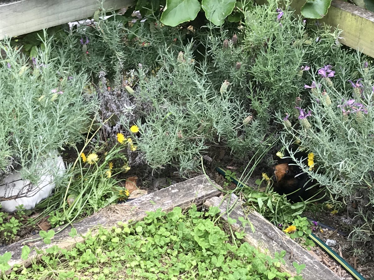 @HumbugAndToby @badgerbumble    @buggmum   It's not sunny here in the wild garden  but fave human has stashed a pile of dandelions under the lavender #FabulousLives