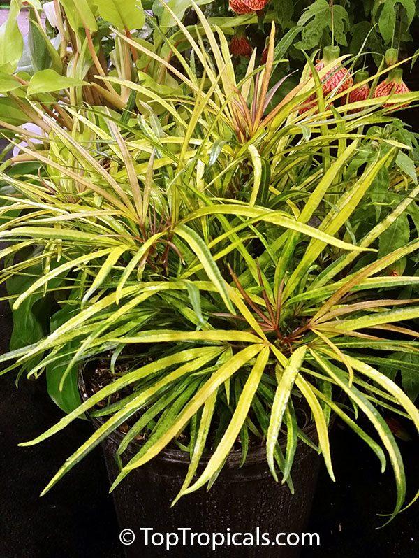 #Osmoxylon lineare (variegated) is rare tropical ornamental miniature tree valuable for exotic fine-cut leaves. Exotic foliage of Japanese style, like a bamboo. Easy to grow, suitable for indoors.   #ornamentalplants #homeplants #rareplants #SundayFunday