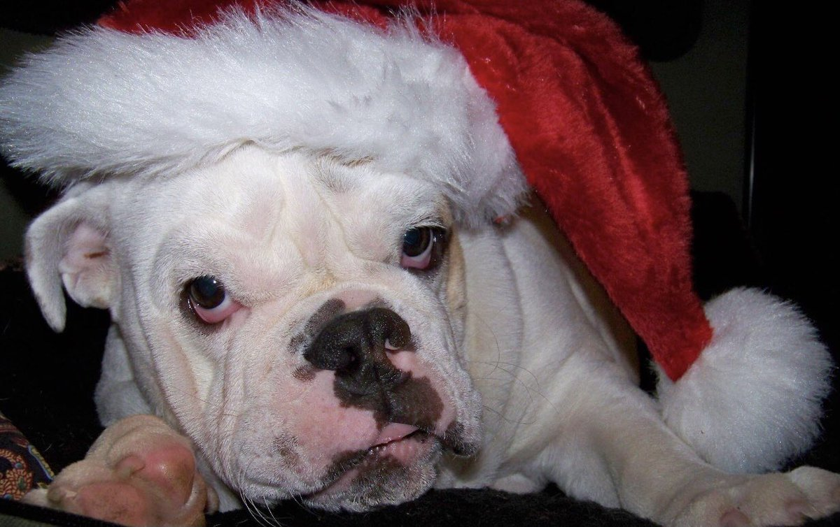 Gertie the Bulldog... Good things don't Always come in Small packages...Size isn't everything...she had the Biggest Heart... Love, Gertie's Family 🍩🐾🐶🐾 #gertiethebulldog #gertiegotdonuts #queenofallbulldogs #Christmasgifts #heart #SundayThoughts #bulldog #Dog #dogs