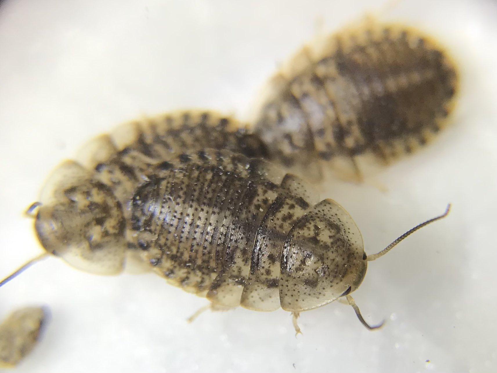 アルゼンチン モリ ゴキブリ