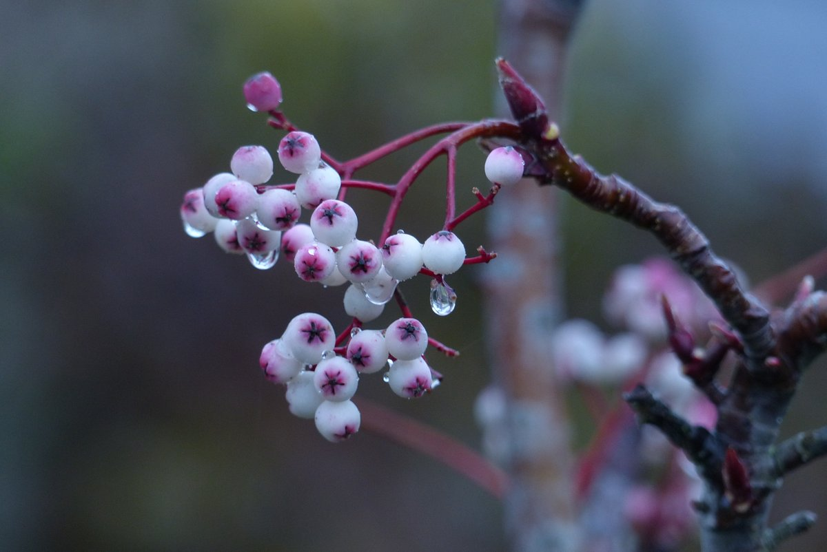 Love to see water droplets on Sorbus or any berry or plant. #mondaythoughts #berryboost #NaturePhotography #gardenshour #countryside #December https://t.co/BafwhkROPr