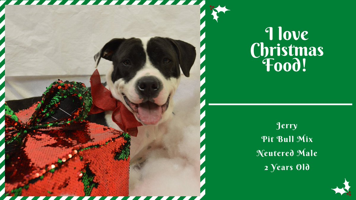 Jerry's favorite thing about Christmas is Christmas dinner! He will stay right by your side all night, but be sure he doesn't seek a something off your plate when your not looking! #Christmas #Letseat #Adopt #Takemehome #CityofBryan #bryananimalcenter #bestpresent #Christmasphoto