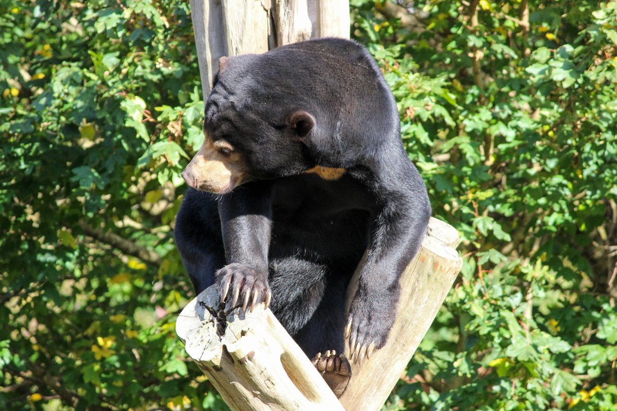Babu thinks sun bears shine just as bright as stars on the top of a tree... we have to agree 🎄☀️