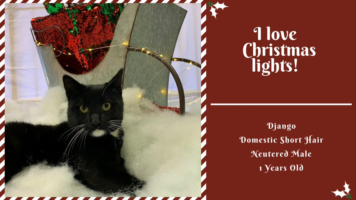 Seeing all the Christmas lights is Django's favorite thing about Christmas! Curl up with Django and enjoy your holiday decorations together. #Christmas #Lights #Adopt #Takemehome #Christmascheer #CityofBryan #rescue #AllIwantforChristmas