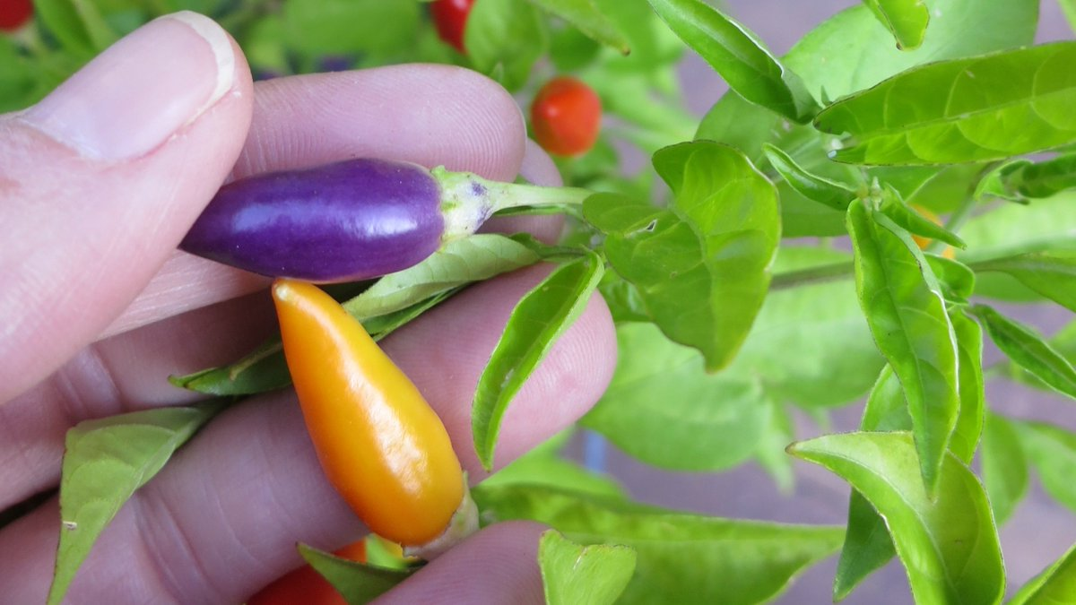 Grow a rainbow of flavor next season in your garden with ornamental peppers! Check out all our edible ornamentals at:  #seeds #gardening #peppers #ornamentalplants #vegetablegardens