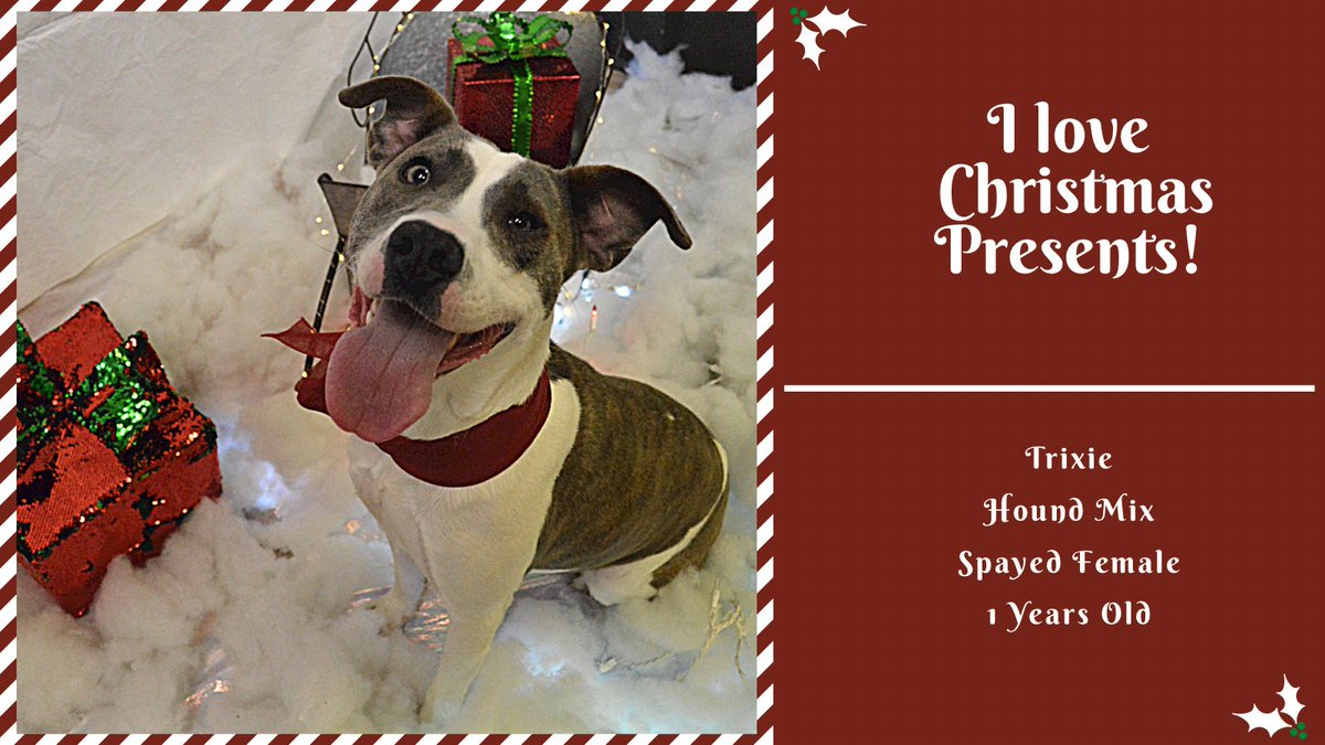 Trixie loves Christmas presents! She always has a smile on her face and wants you to be happy. When you are opening your gifts, it makes you smile which makes Trixie happy! Trixie has such a big heart and will make a great family dog! #christmas #takemehome #smile #adopt #rescue