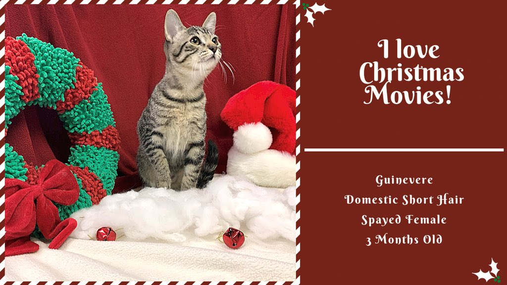 Guinevere 's favorite thing about Christmas is Christmas movies! She will cuddle up in bed with you for a good movie after playtime of course. She may look like a plain brown tabby but she has a sweet, spunky personality that is sure to shine. #ChristmasMovies #adopt