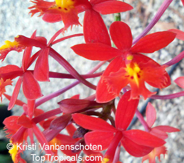 #Epidendrum radicans - Red Raspberry Reed Ground Orchid, Red Glow. This orchid is widely cultivated. The red raspberry  colored #fragrantflowers are usually small and borne on a dense inflorescence.   #floweringvines #ornamentalplants #MondayMotivaton