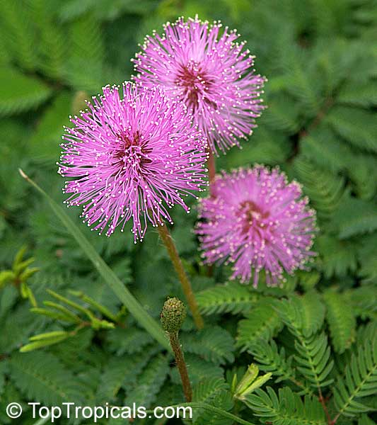 #Mimosa pudica (strigillosa) - Sensitive Plant is a fun plant to grow. The leaves fold up when touched. It is a wonderful groundcover, can integrate with grass and pink powderpuff flowers stick out of grass - very showy!   #ornamentalplants #MondayMotivaton