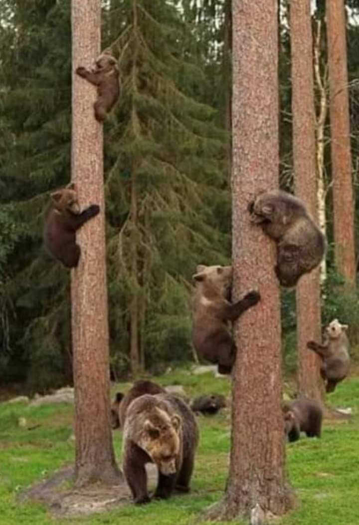 All bears climbing on  tree!!💖💖