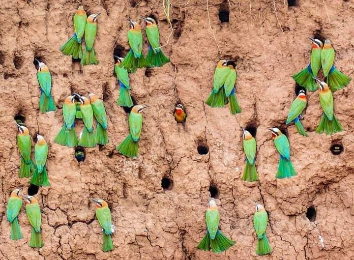 Bee- eaters💚💚