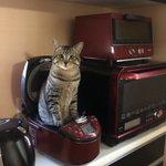 キョトン顔で炊飯器から猫が生えてるけど?朝の忙しい時に邪魔なんですがw