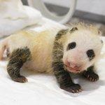 アドベンチャーワールドで赤ちゃんパンダ誕生して1か月!性別が判明した模様!