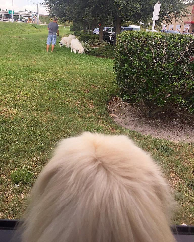 Leab-n Chic-Fil-A Hey lets go back! I left sum pee mail and dey leab-n me a message! #pekenic  . . . #peemail #lilcaliroll #caligurl #pekingese #doglife #dogslife  #checkingpeemail #sendingpeemail #replytoall #throughadogseyes