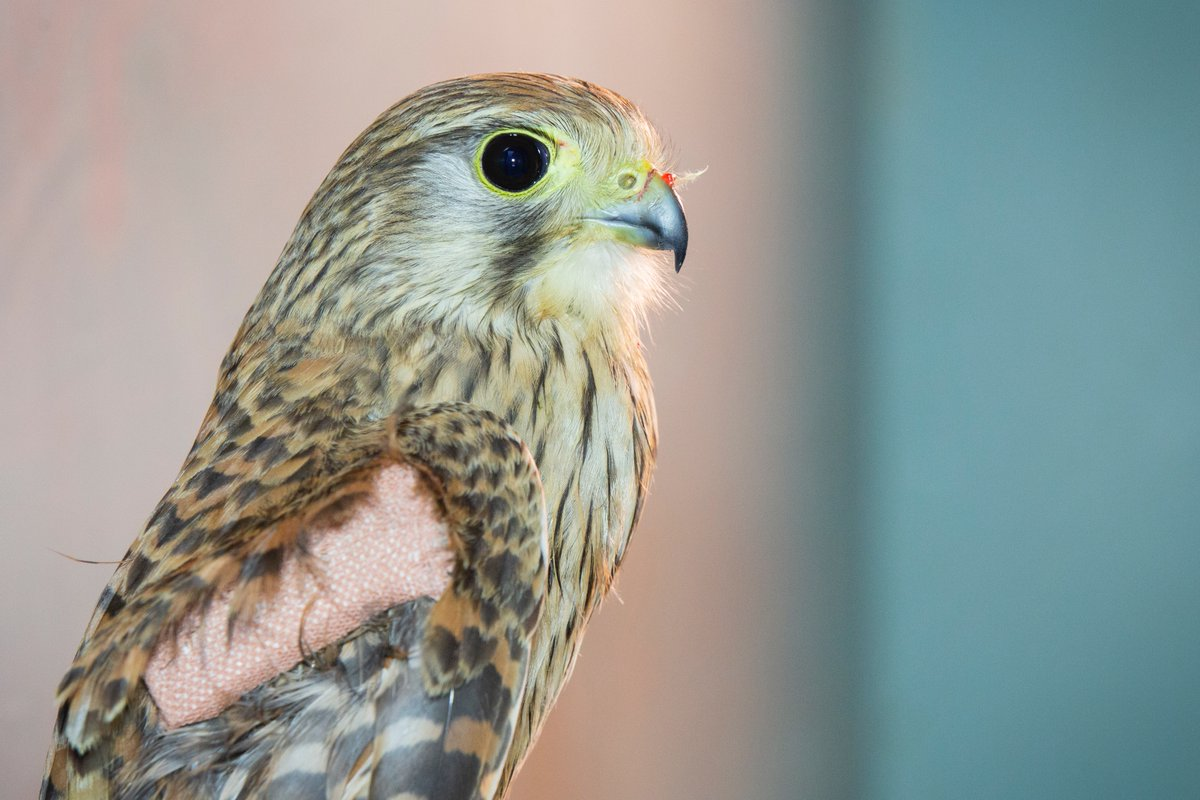 Our broken-wing #kestrel has been making some great progress recently!   With the wing splint holding the fracture in place, it has healed beautifully and she is already flying about once more in her pen!  With a follow-up x-ray scheduled soon, her release date is not far away!