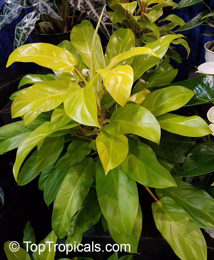 #Philodendron Golden Goddess is a climber with eye-catching golden-yellow foliage. Golden Goddess is easy to grow in a bright spot, and like most vines, it becomes more spectacular with age.  #ornamentalplants #beautifulfoliage #homeplants #SundayFunday