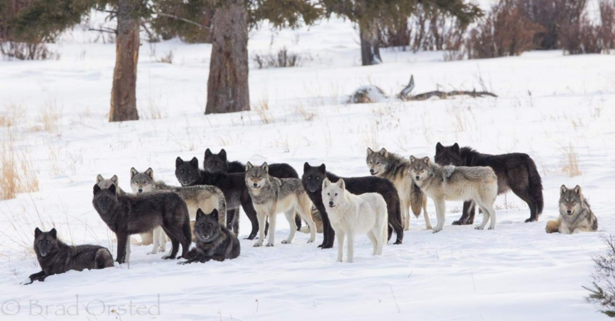Stunning 🐺 family portrait by Bradley Orsted. Shared with permission. #Yellowstone  They all looked in the same direction as another wolf started howling. The video of them howling can be found at Brad's instagram account. Find Brad at brad_orsted on instagram