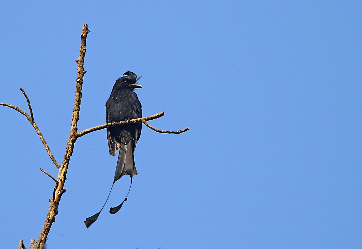 Good morning... Greater Racket-tailed drongo.. one of the best mimic birds, always chasing away other birds.. @IndiAves @Avibase @NatureIn_Focus #birds #nature #birdwatching #birdphotography #BirdTwitter https://t.co/HADZW4UiPE