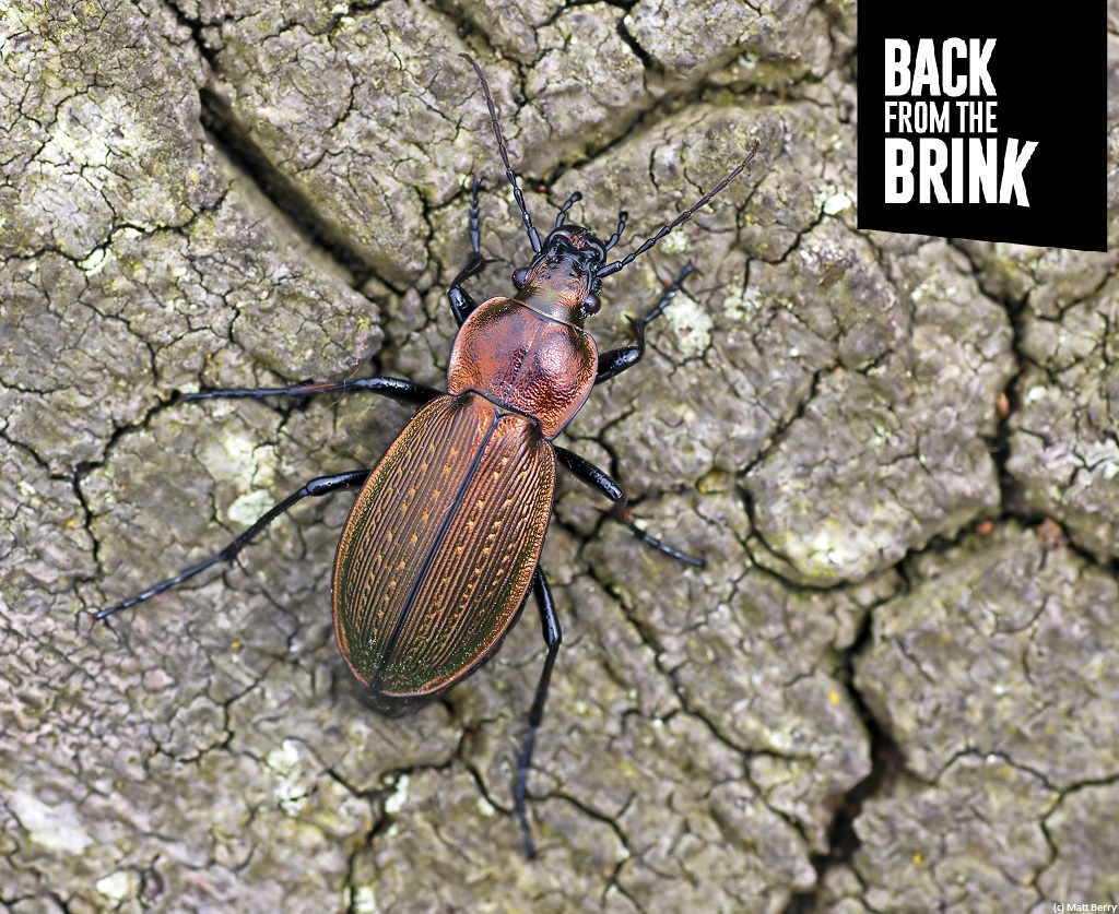 🎅🎵On the 12th day of Christmas my true love gave to me - a rare green Necklace Ground Beetle🎶  It gets its name from the sculptured pattern on its wing cases.   A one-off #donation of a £1 could help our rare species:   #CharityTuesday #12DaysOfGiving 🎄
