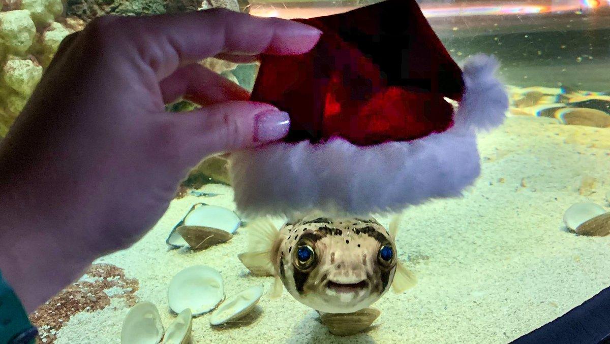 Merry everything and happy always! 🐡😊 #FloridaAquarium #Pufferfish #SantaHat