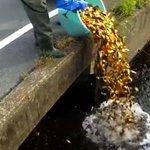 ありえない業者、売り物にならない金魚を用水路に投棄してしまう・・・