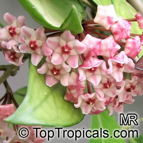 #Hoya cv Sunshine - Wax Plant does best in at least 4 hours of direct sunlight a day, but also can be grown in curtain-filtered sunlight. Do not remove the leafless spurs or stubs, on which new flowers appear every year.   #floweringvines #SundayFunday