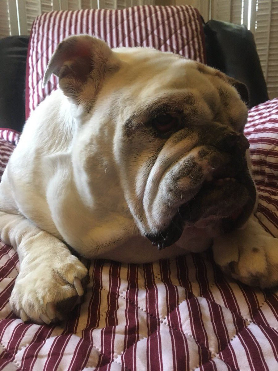 Deep Thoughts, by Gertie the Bulldog... To whoever Reads this...  I hope something Good happens to you Today... Love, Gertie's Family 🍩🐾🐶🐾 #gertiethebulldog #gertiegotdonuts #queenofallbulldogs  #SundayThoughts #bulldog #dogs #Dog