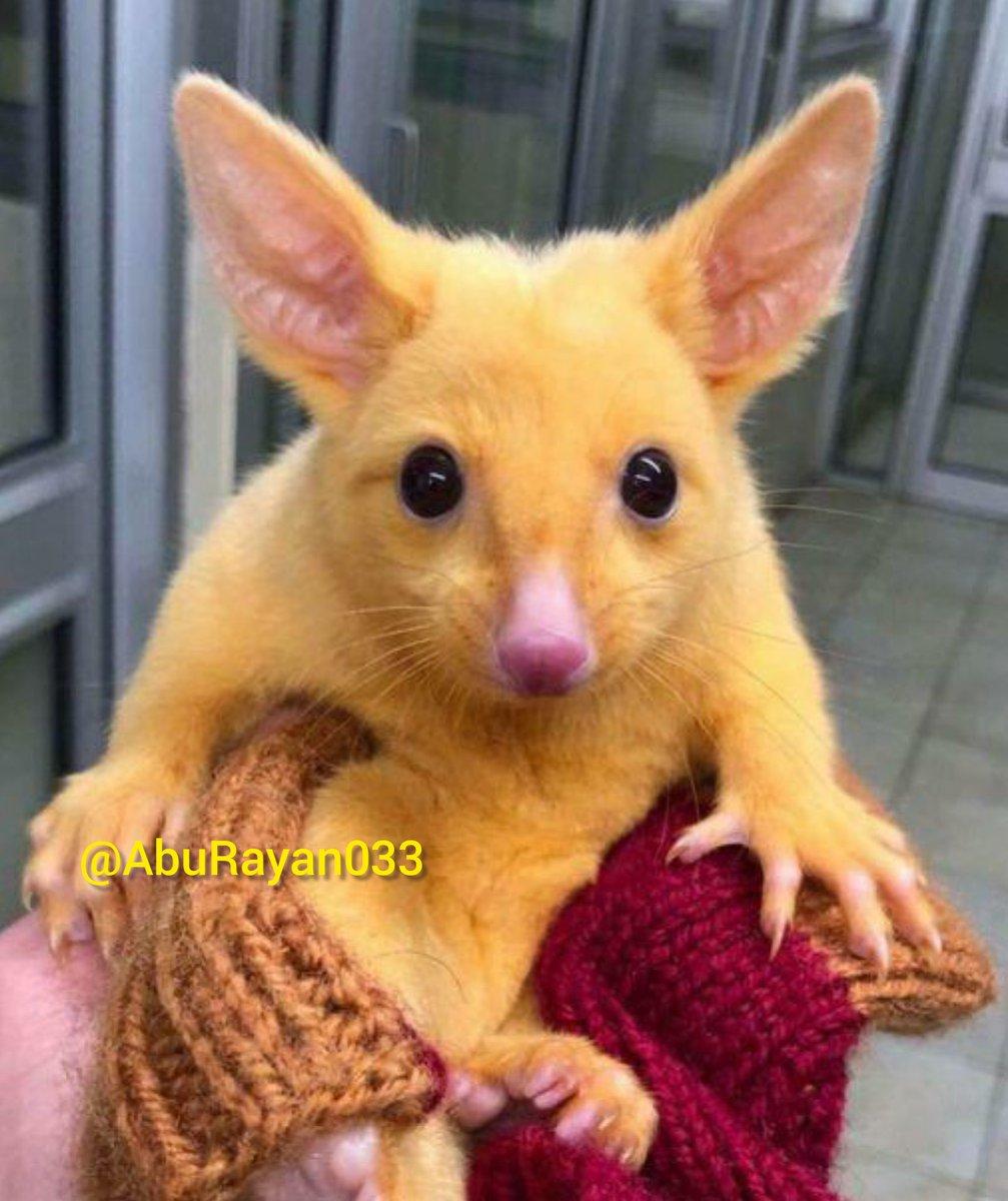 في #أستراليا فوجئ الأطباء البيطريون  بحيوان غير عادي في مظهره يشبه تقريبًا شخصية الرسوم المتحركة في #بوكيمون - (#بيكاتشو ).