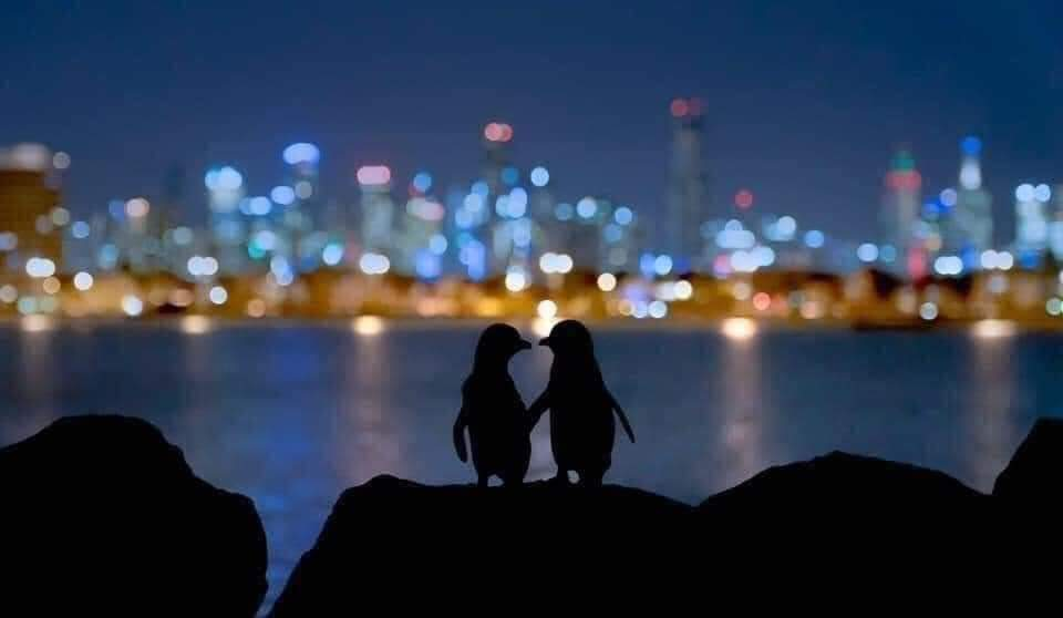 The lighter penguin is an elderly female whose partner died this year. The darker one is a younger male who lost his partner two years ago. Biologists have followed them as they meet every night to comfort each other. They stand for hours together watching the lights in Melbourne
