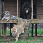 仲良しで地上最強?ライオン・トラ・クマの三兄弟!