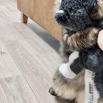 犬のぬいぐるみを見て、なぜかテンションが爆上がりの猫!