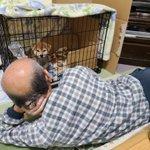 柴犬が可愛すぎる!飼って3日でダメになった父親の姿が面白い!