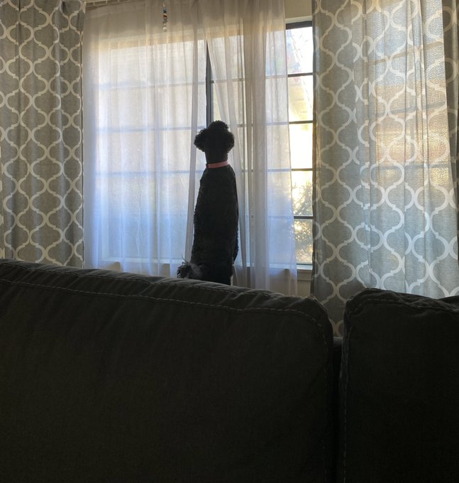 Poor Paul, she gets so sad when her humans leave that she stares out the window ... @michaeladam13 https://t