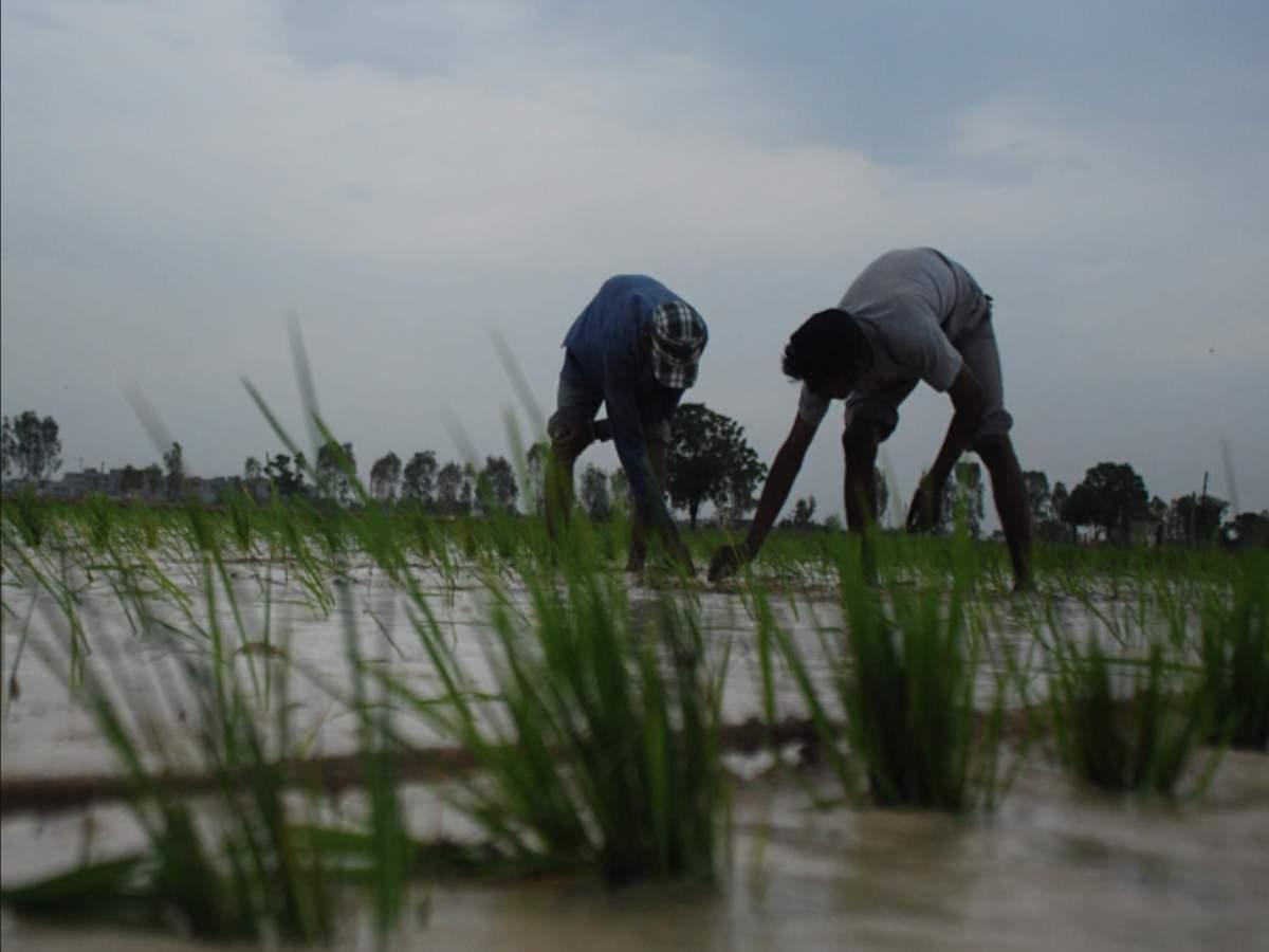 खरीफ सीजन में 150.50 मिलियन टन रिकॉर्ड खाद्यान्न उत्पादन का अनुमान