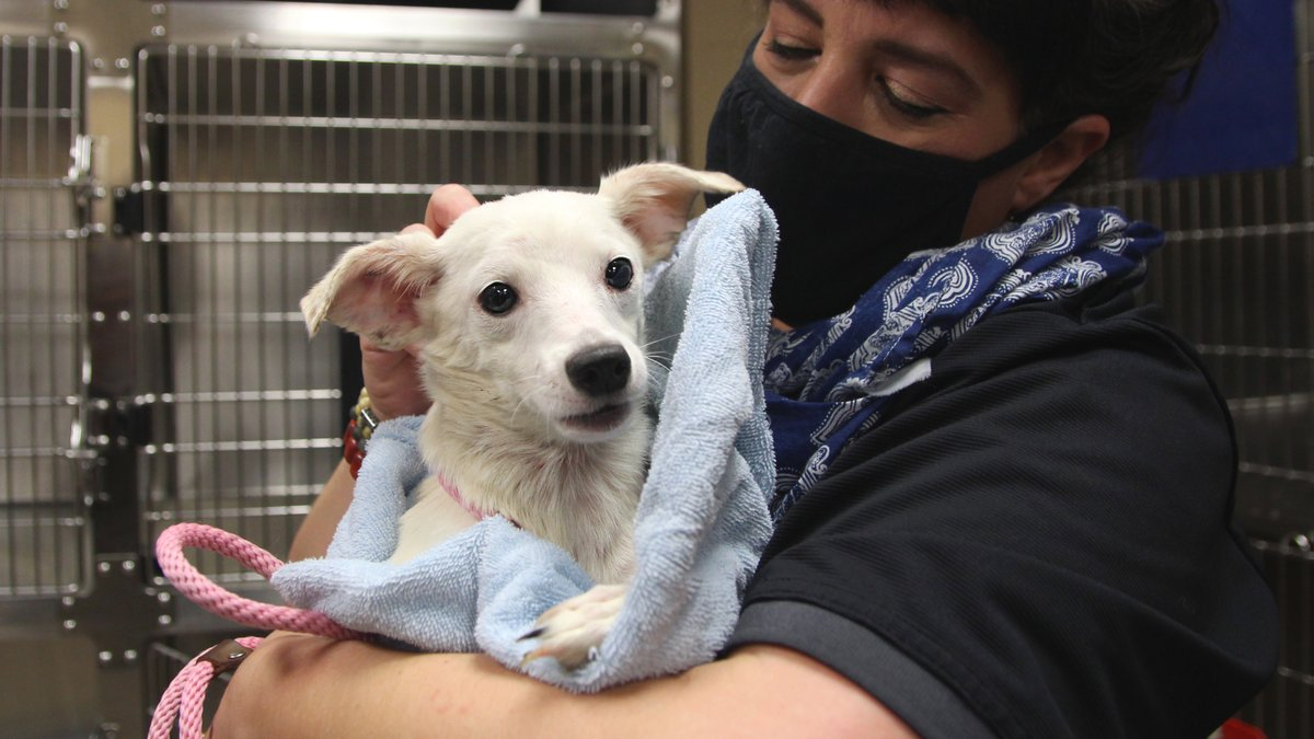 UPDATE: About half of the 17 dogs we took in yesterday after their owner's unexpected death are terrified of human touch.  Today, we began gently wrapping them in blankets, holding them close, and starting to show them how much they are loved.  Donate now: