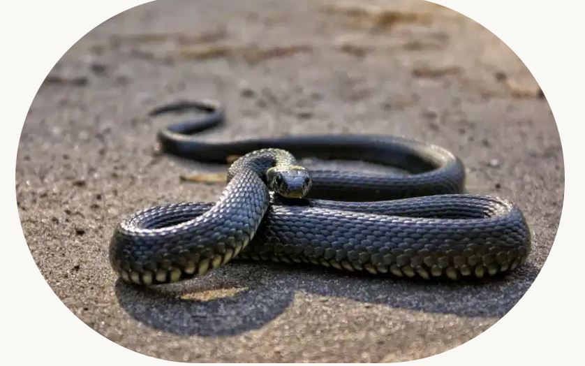 Thrilled to present a themed collection on #Snakebite as a public health problem in India.   As of now, it contains 16 reports, research, opinion pieces, interviews and notes on the issue.   🔗https://t.co/zEU4xyY4Oq https://t.co/PIIny29wdV