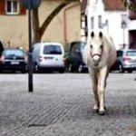 ドイツでは当たり前?14年間毎日1頭で散歩する白馬がいる!