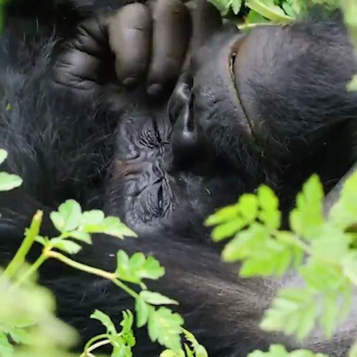 Playtime has never been so precious… 📷:@massdesignlab #gorillamoment #weneedgorillas #gorilla #conservation #playtime